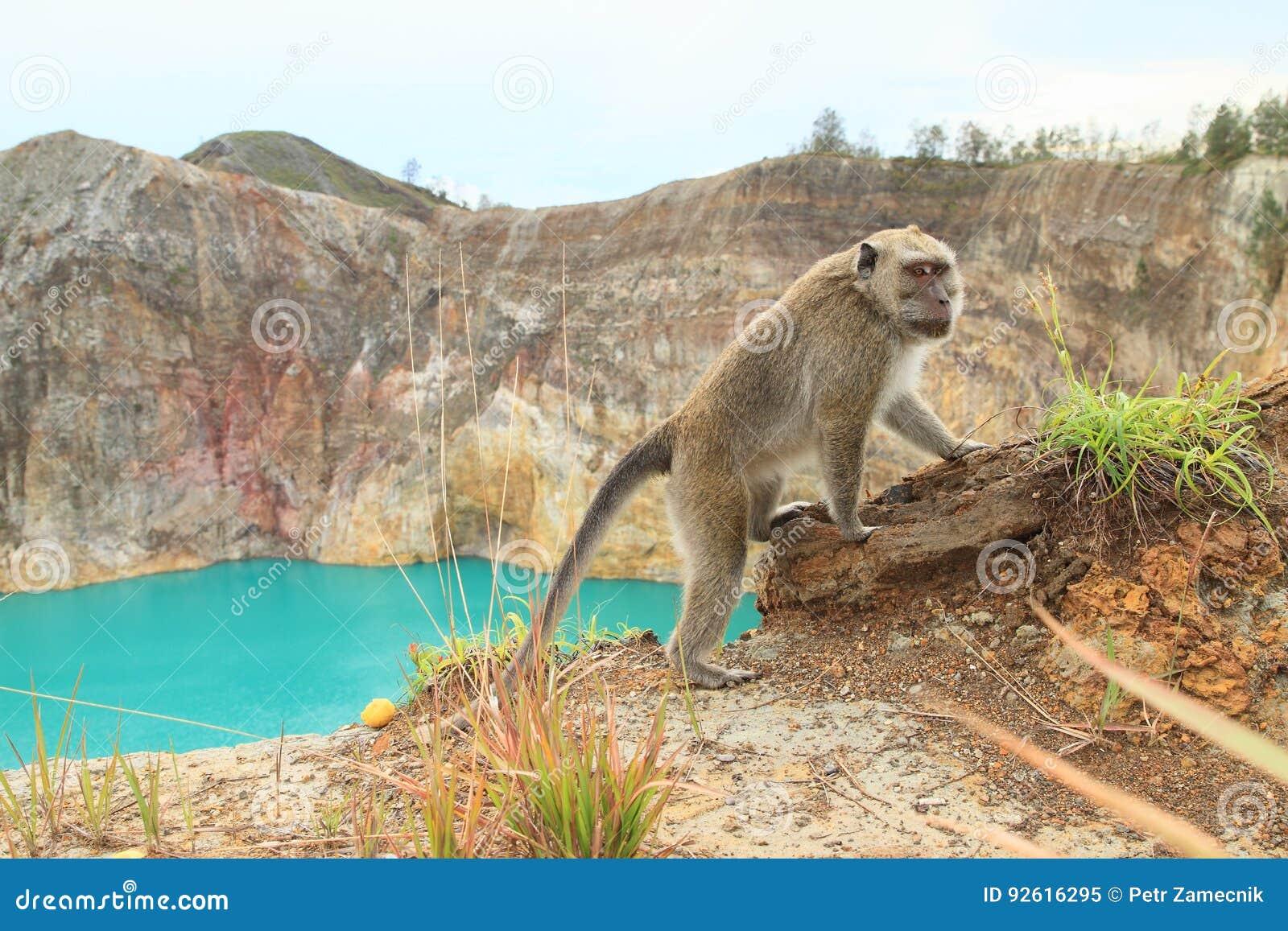 Monkey on edge of crater with lake Tin on Kelimutu