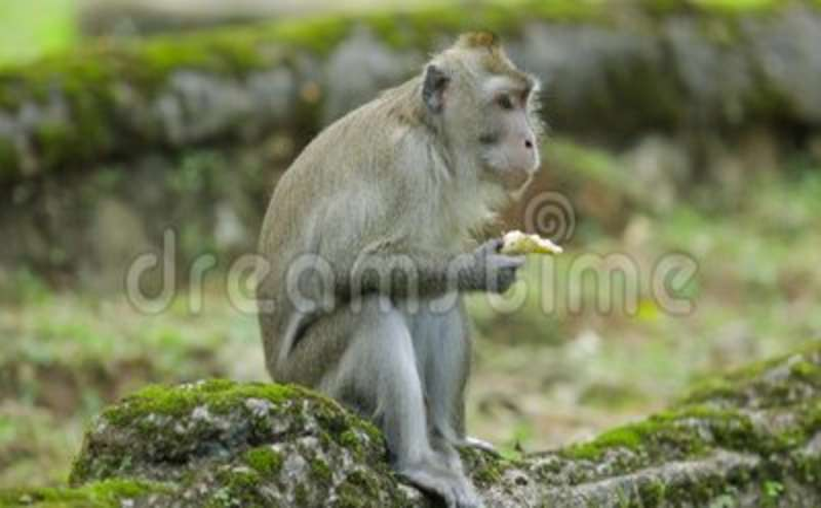 Monkey Enjoying Banana At The Zoo Stock Video Video Of Wild Face