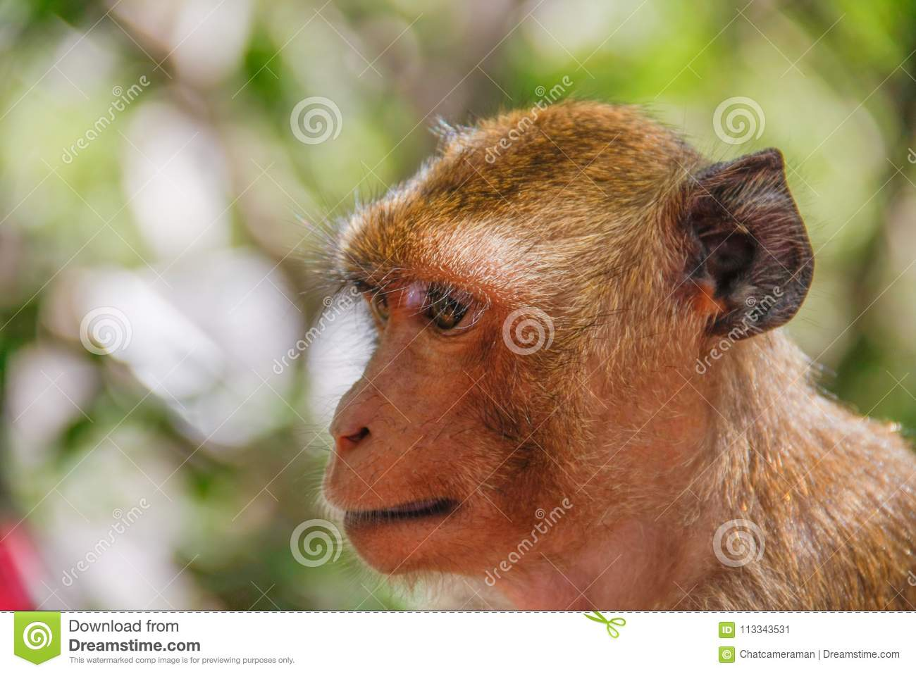 Monkey face and head