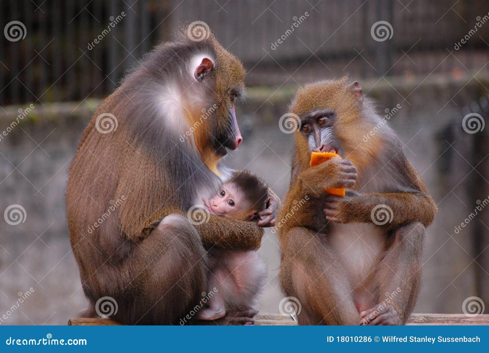 Monkey Family Stock Photo Image Of Monkies Little