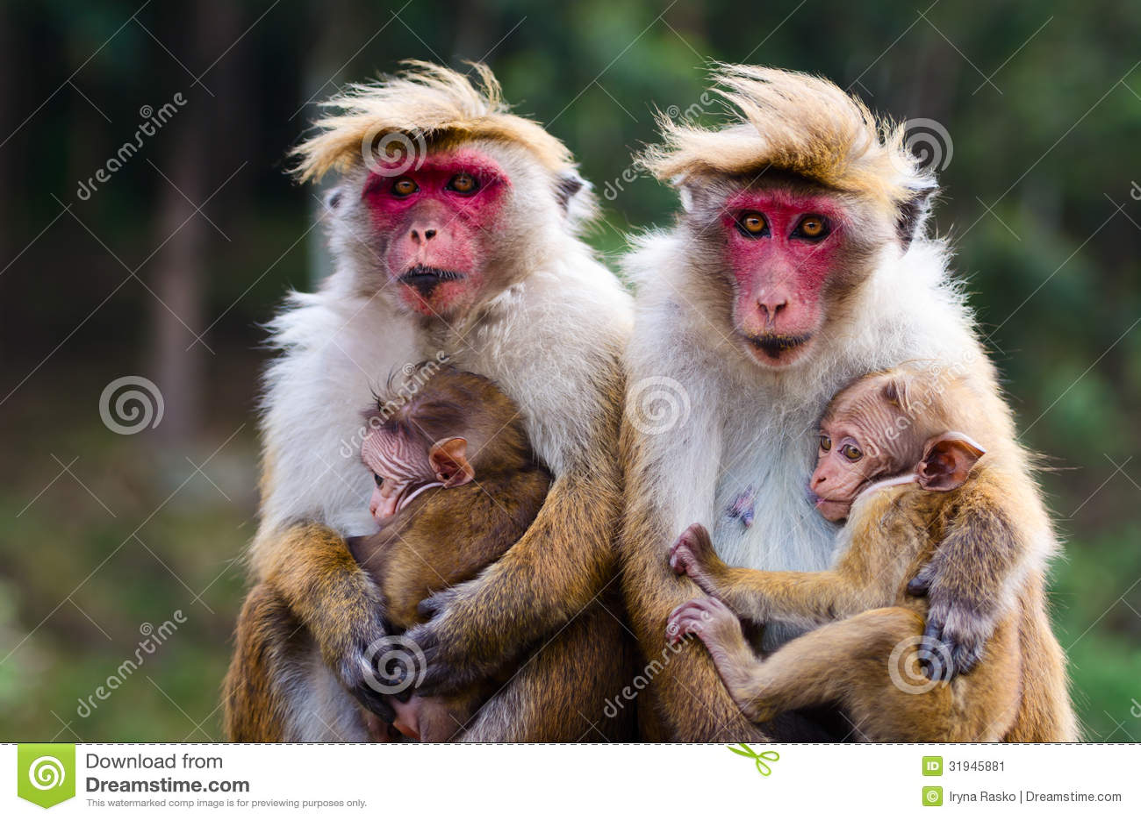 monkey family stock image image 31945881 chimpanzee clip art free chimpanzee clipart black and white