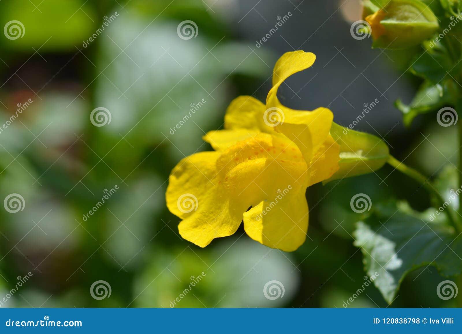 Monkey Flower Stock Photo Image Of Yellow Nature Snapdragon