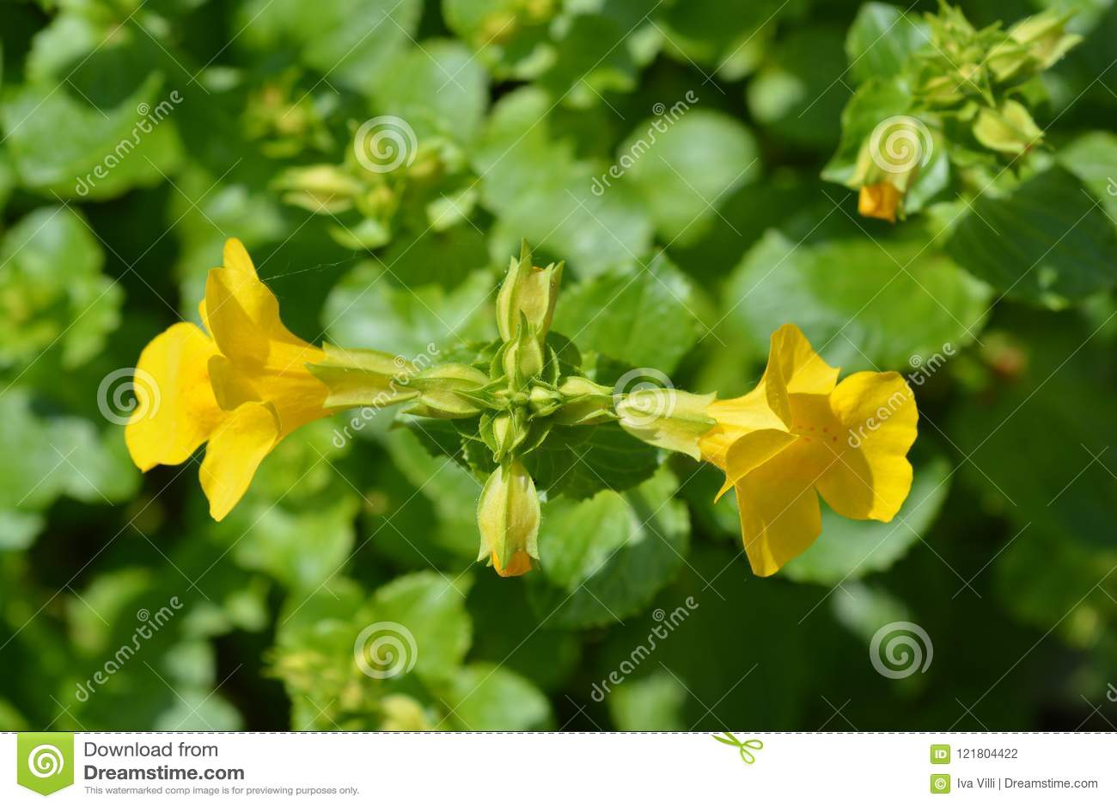 Monkey Flower Stock Photo Image Of Close Macro Musk 121804422