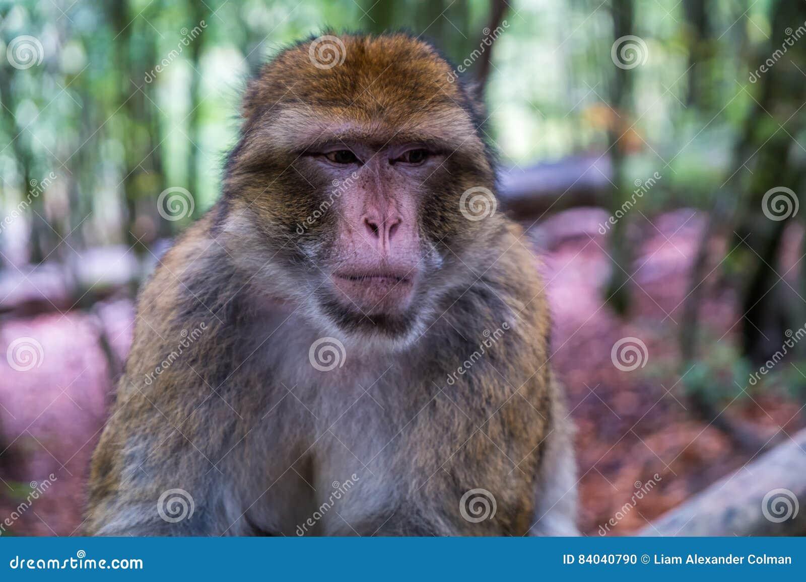 Monkey forest - Grumpy monkey sitting