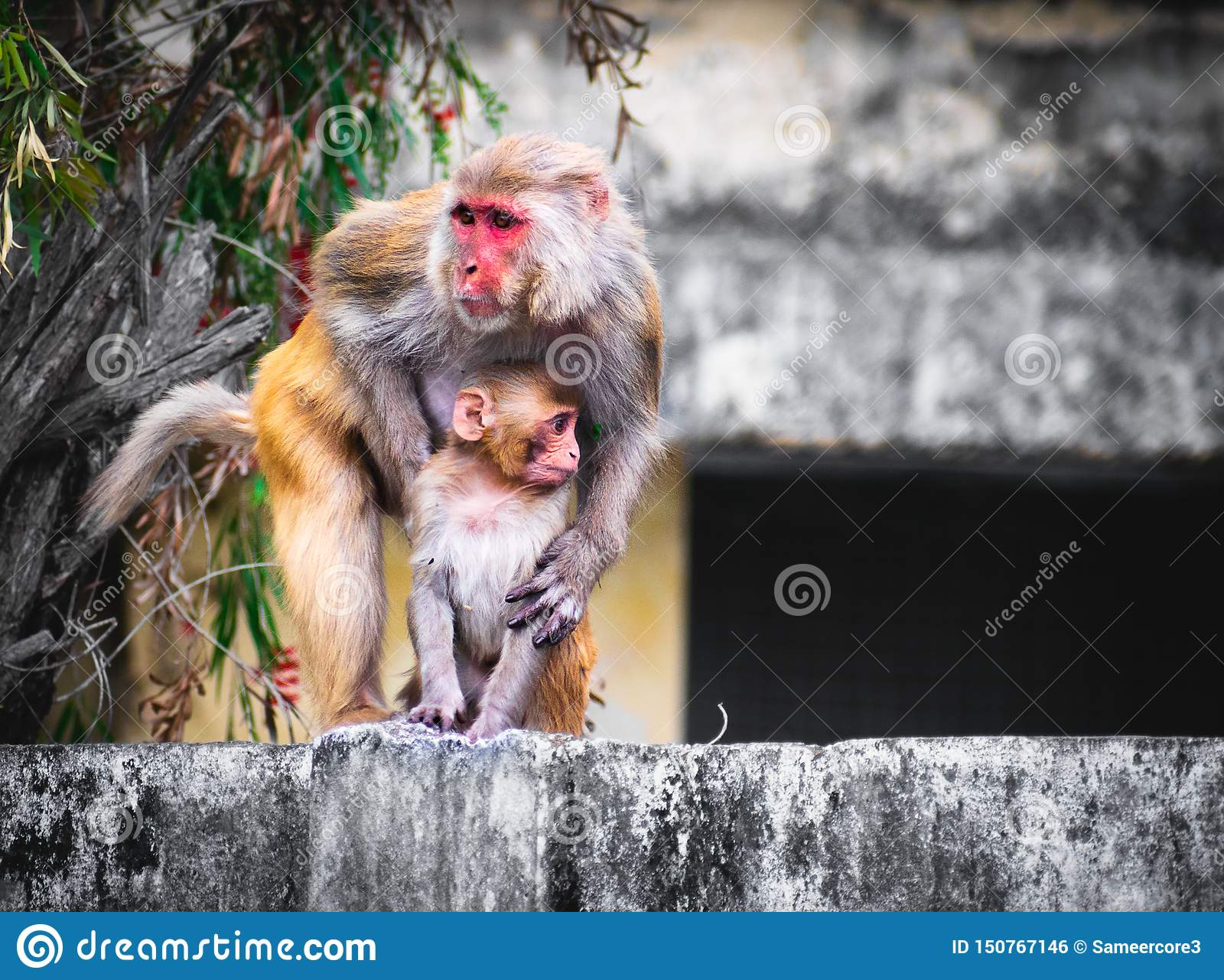 Monkey holding baby monkey on wall background