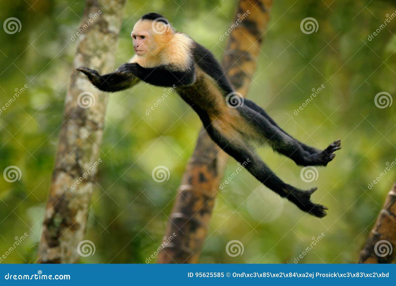 Monkey jump. Mammal in fly. Flying black monkey White-headed Capuchin, tropic forest. Animal in the nature habitat, humorous behav