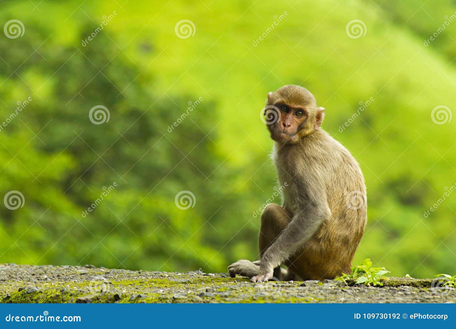 Monkey la seduta sulla parete del bordo della strada nel ghat di Varandha, Pune
