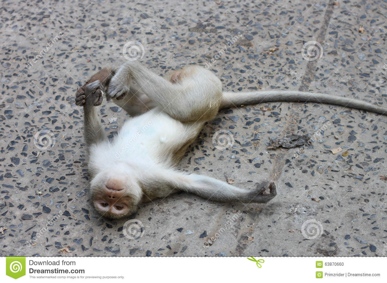 Superior Monkey Lie Flat On The Cement