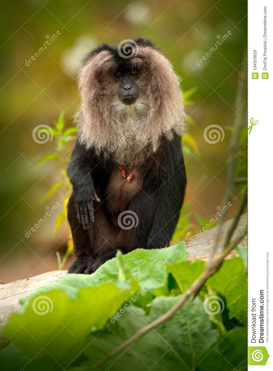 Monkey Lion-tailed Macaque, Macaca silenus, animal on green tropic forest habitat. Lion-tailed Macaque, endemic to the Western Gha