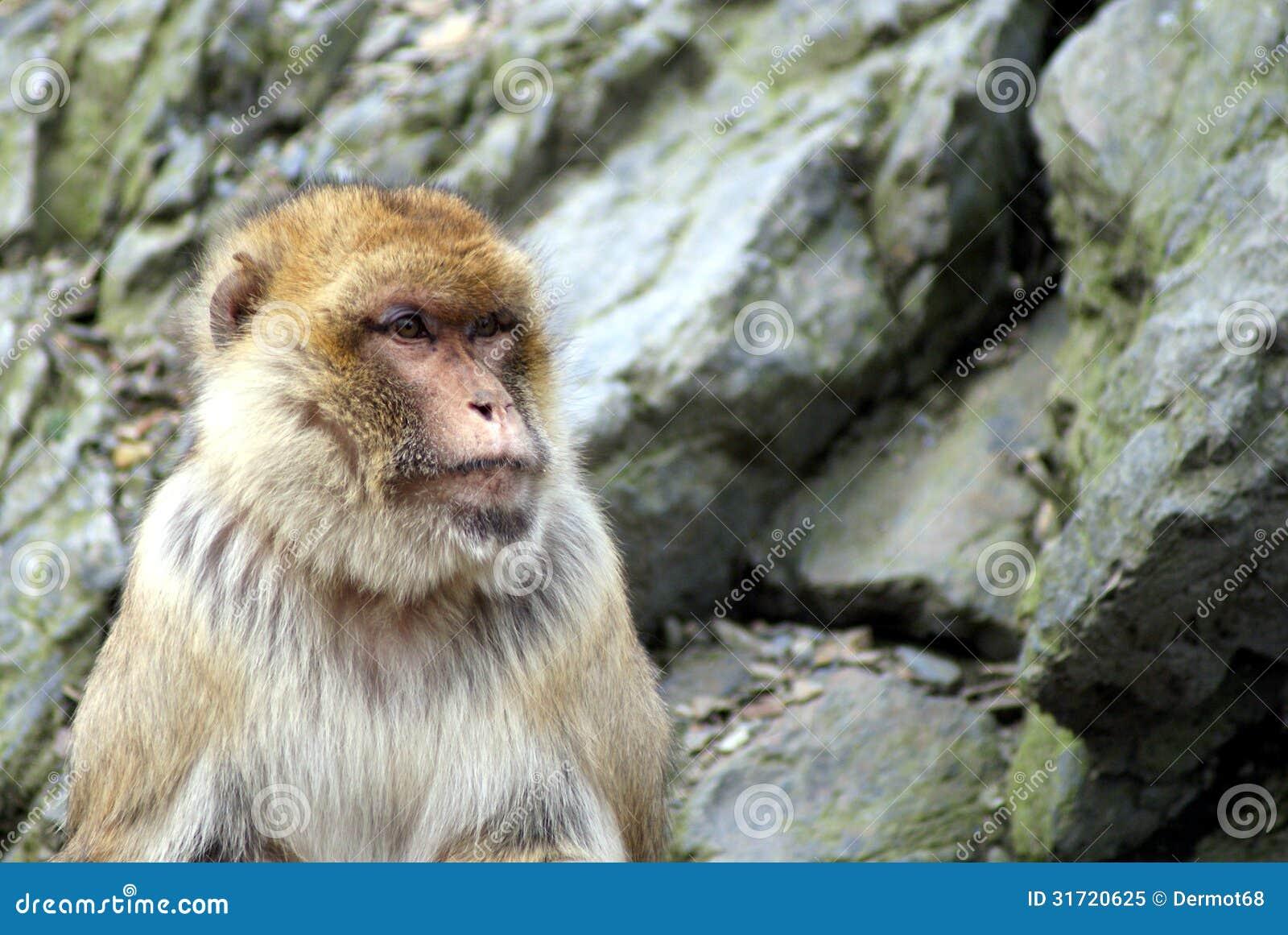 K Kutta Monkey Walk Download Man Sit To Look Monkey...