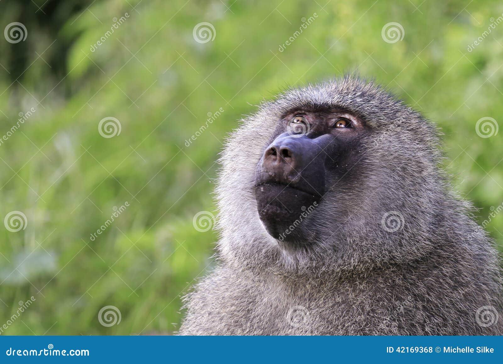 Dusky langur monkeys live in a national park in Thailand | Daily ...