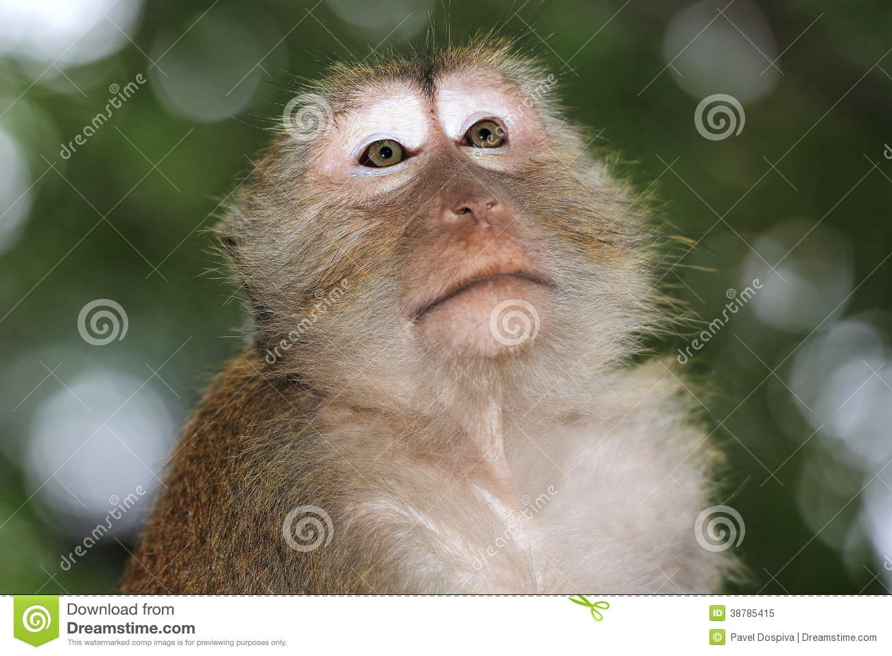 Monkey Macaque Railay Krabi Thailand Stock Image Image
