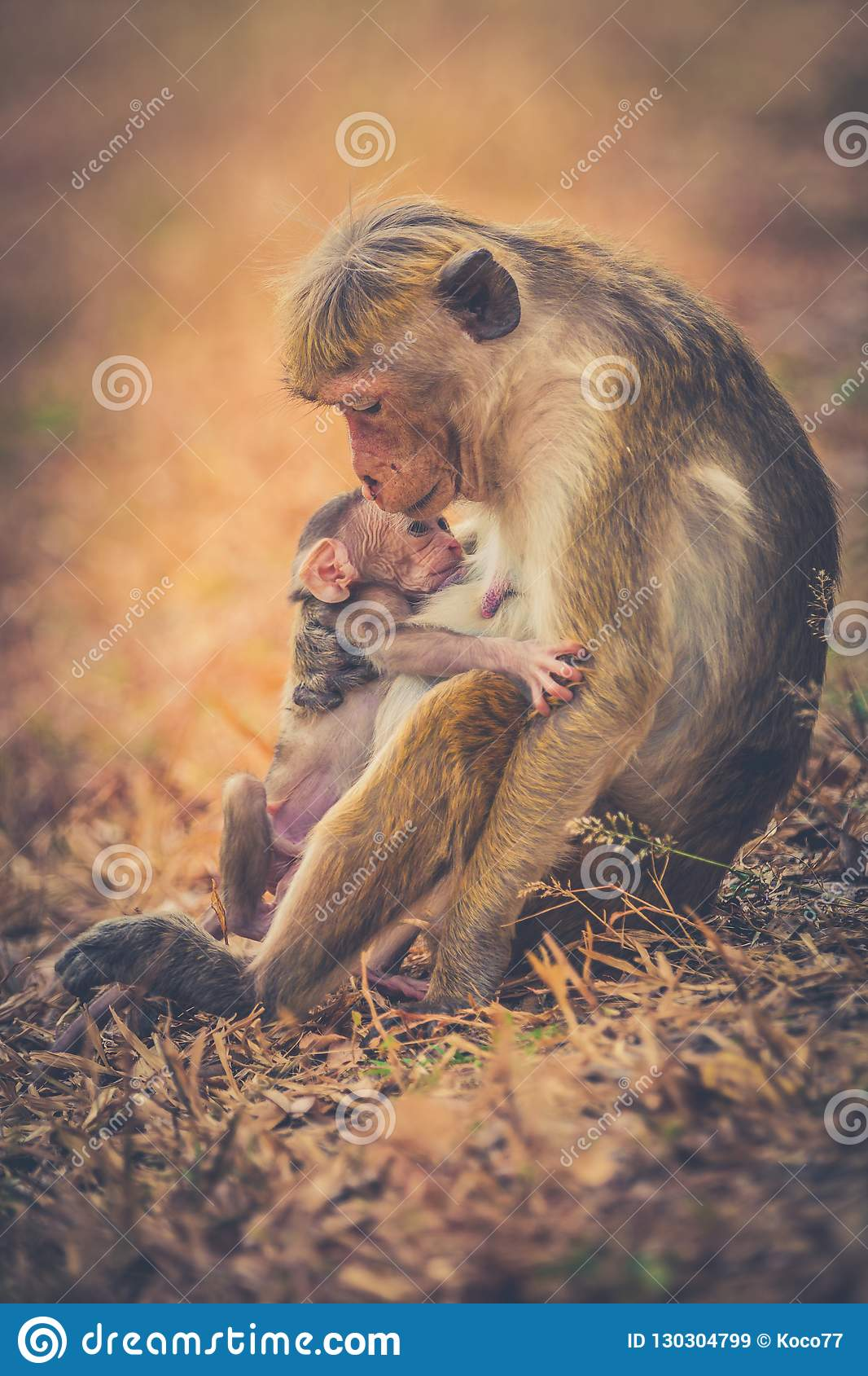 Monkey mom with son puppy. Bonnet macaque monkeys.