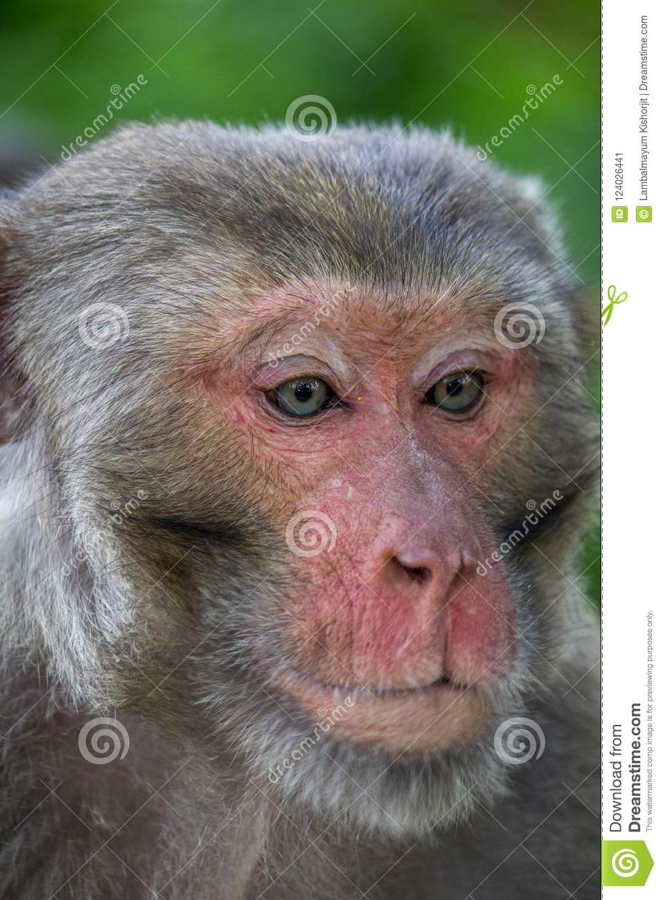 Portrait Of A Monkey With Broken Lip Innocent And Scary Mammals Wildlife Pet Drinking Water