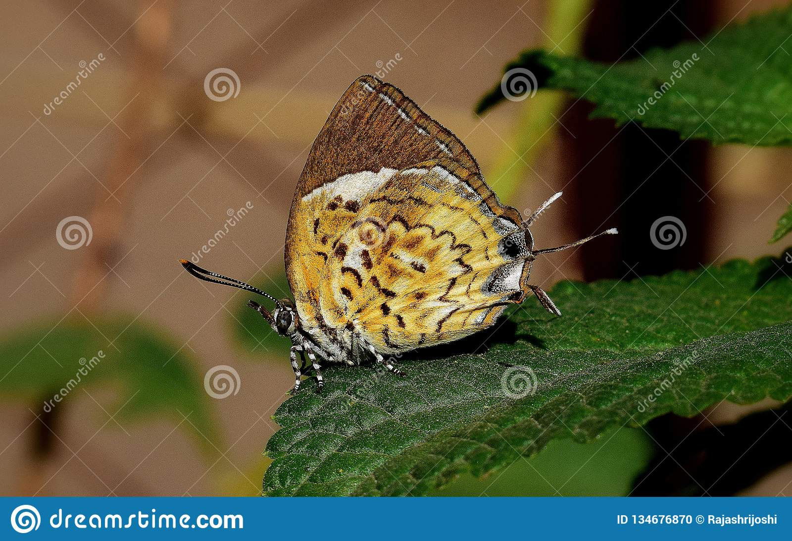 Monkey Puzzle Butterfly