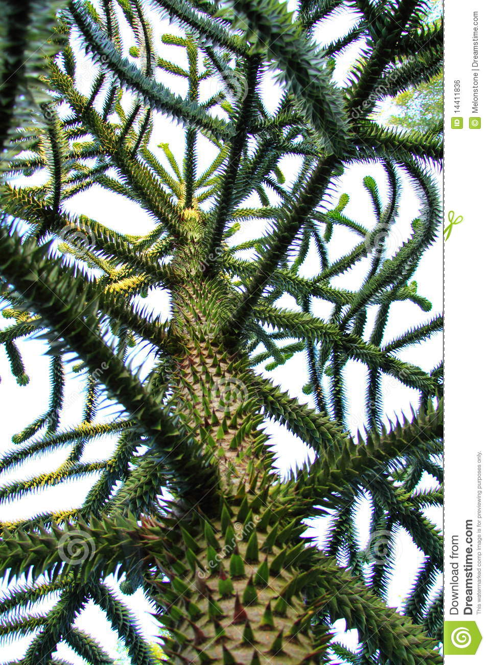 monkey puzzle tree stock photo  image of looking  vertical