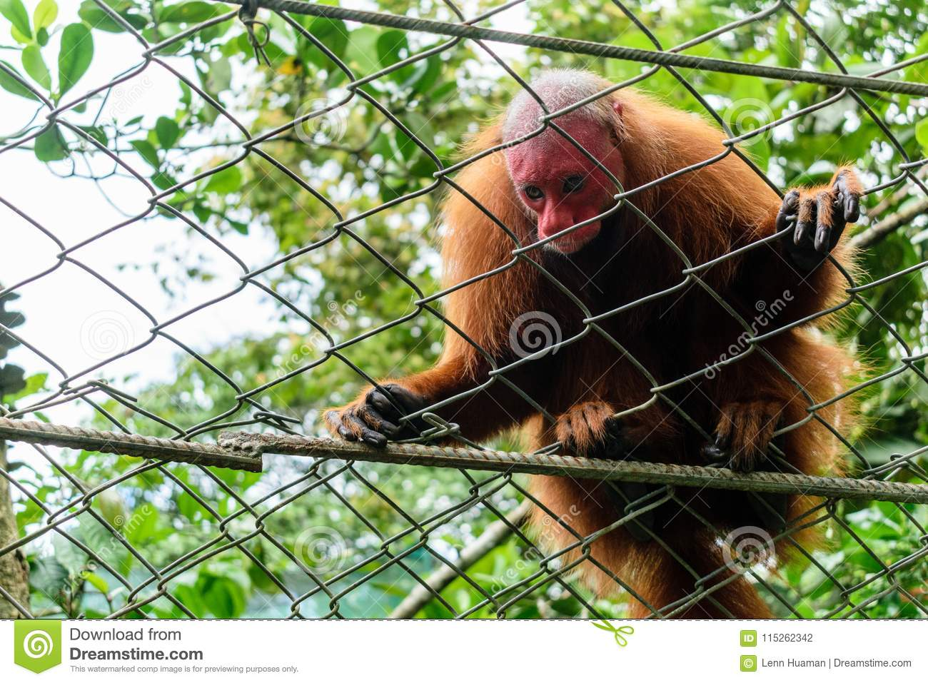 Monkey with red head in the jungle