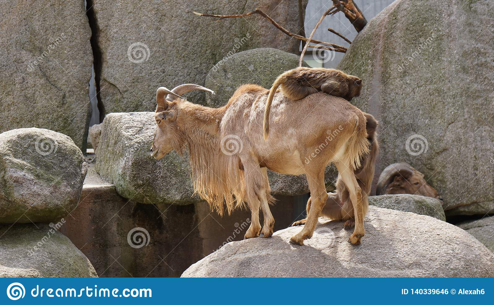 Monkey riding on goat hill scenery