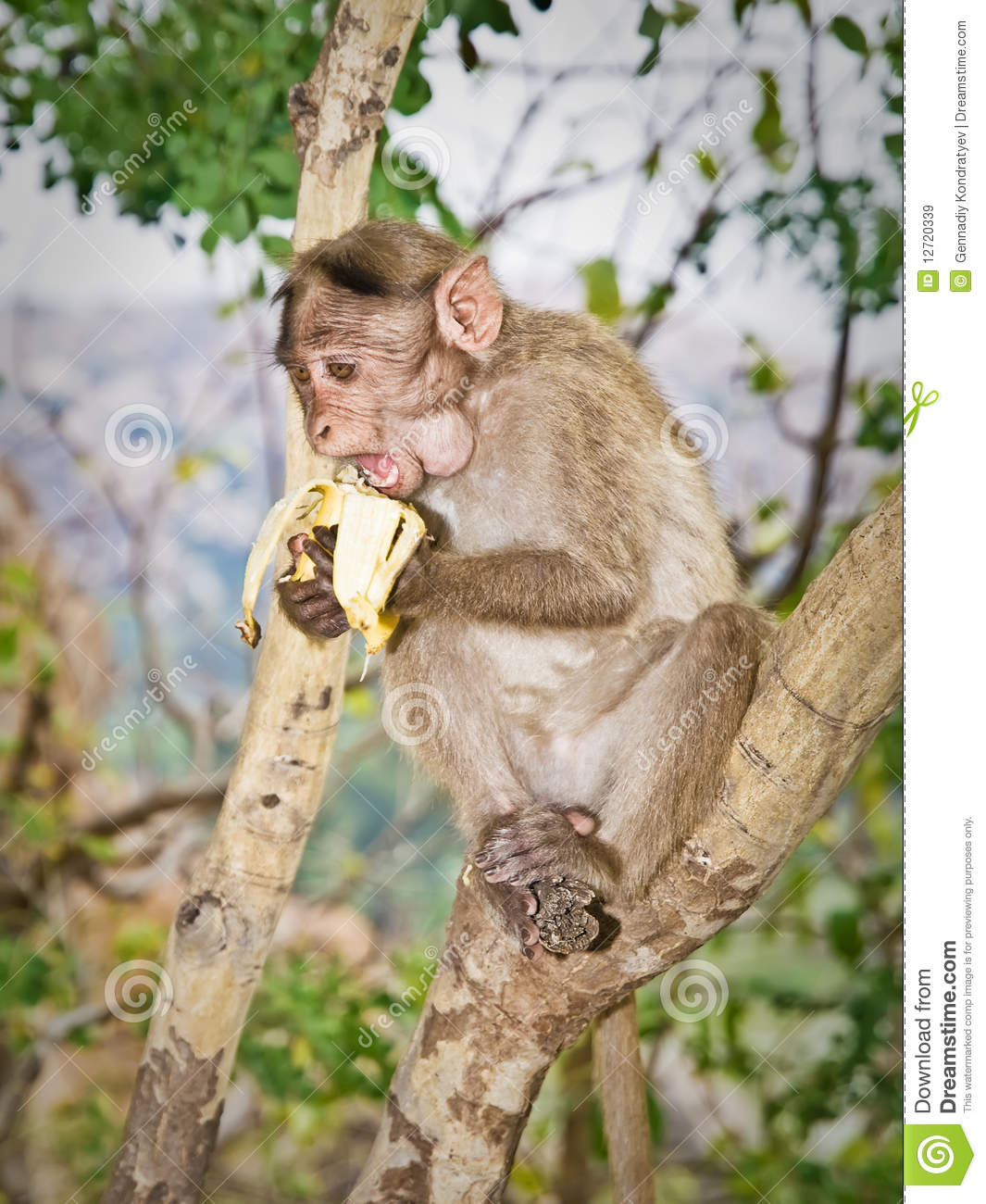 monkey on tree eats banana royalty free stock images