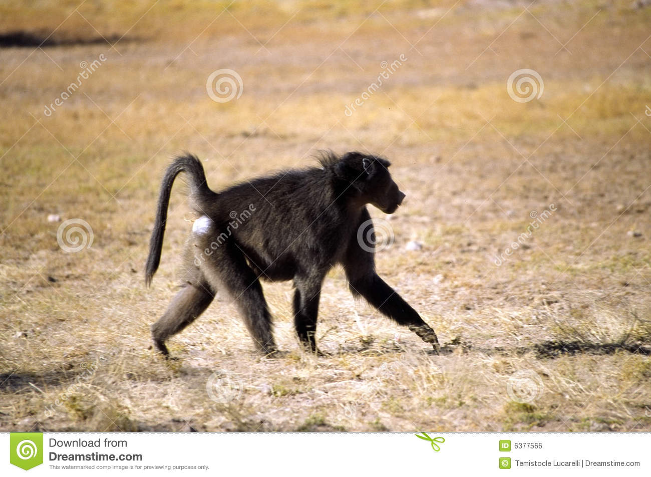 Funny Macaque Monkey Walking On A Ground Stock Photo, Picture And ...