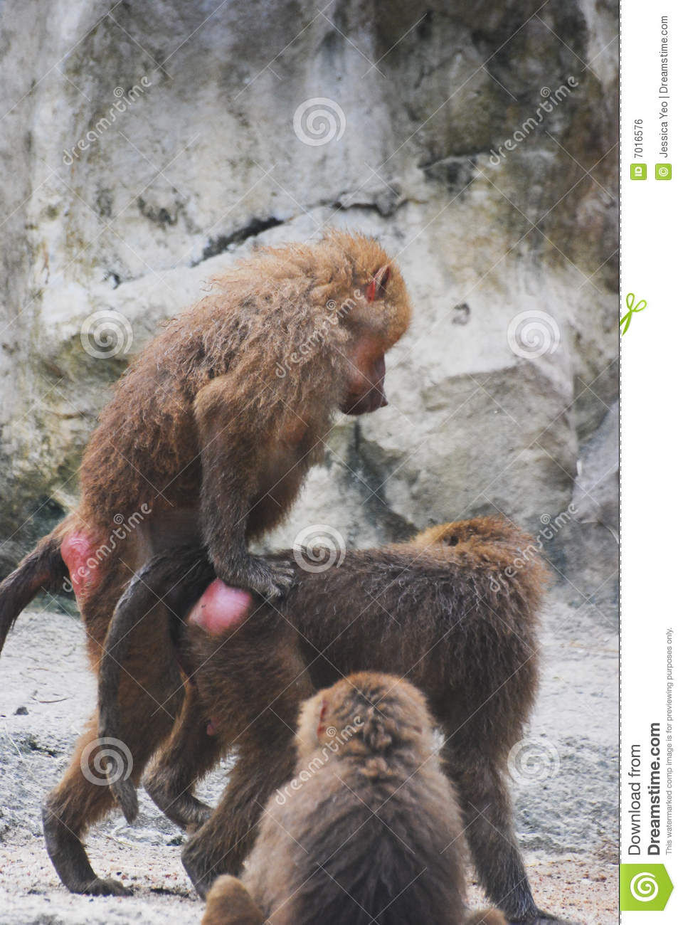 Monkeys Royalty Free Stock Image - Image: 7016576