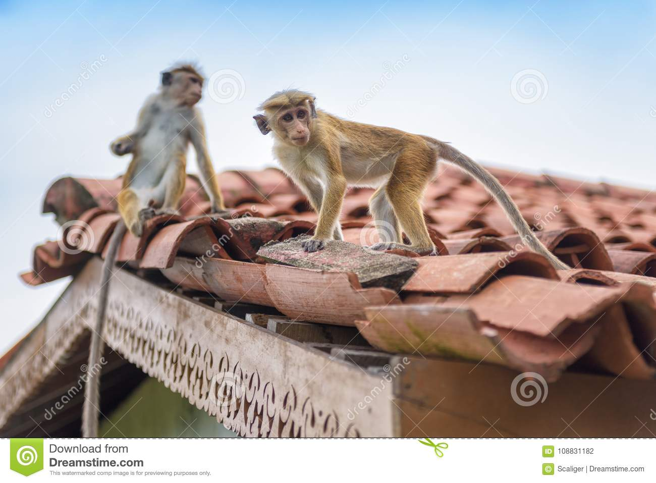 Monkeys are on the ancient Buddhist temple in Sri Lanka