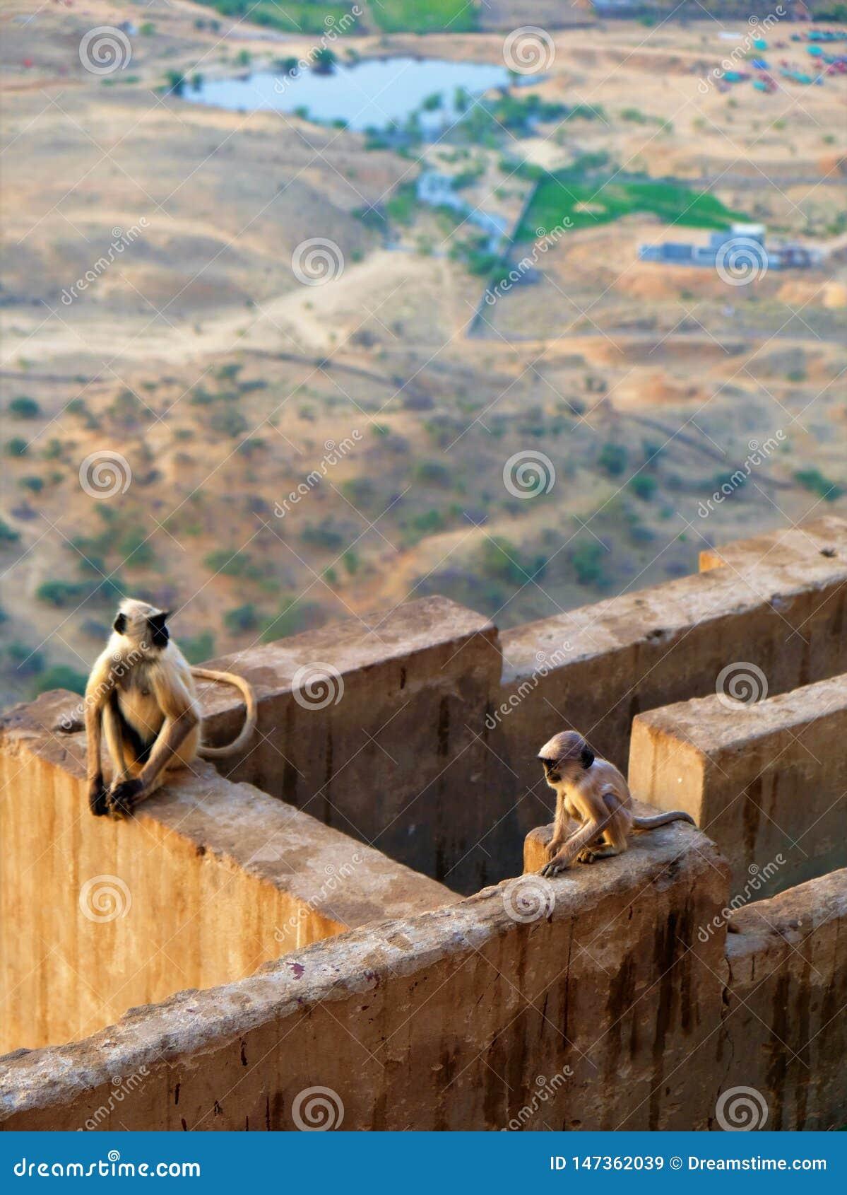 Monkeys at the top of the city of Pushkar, India
