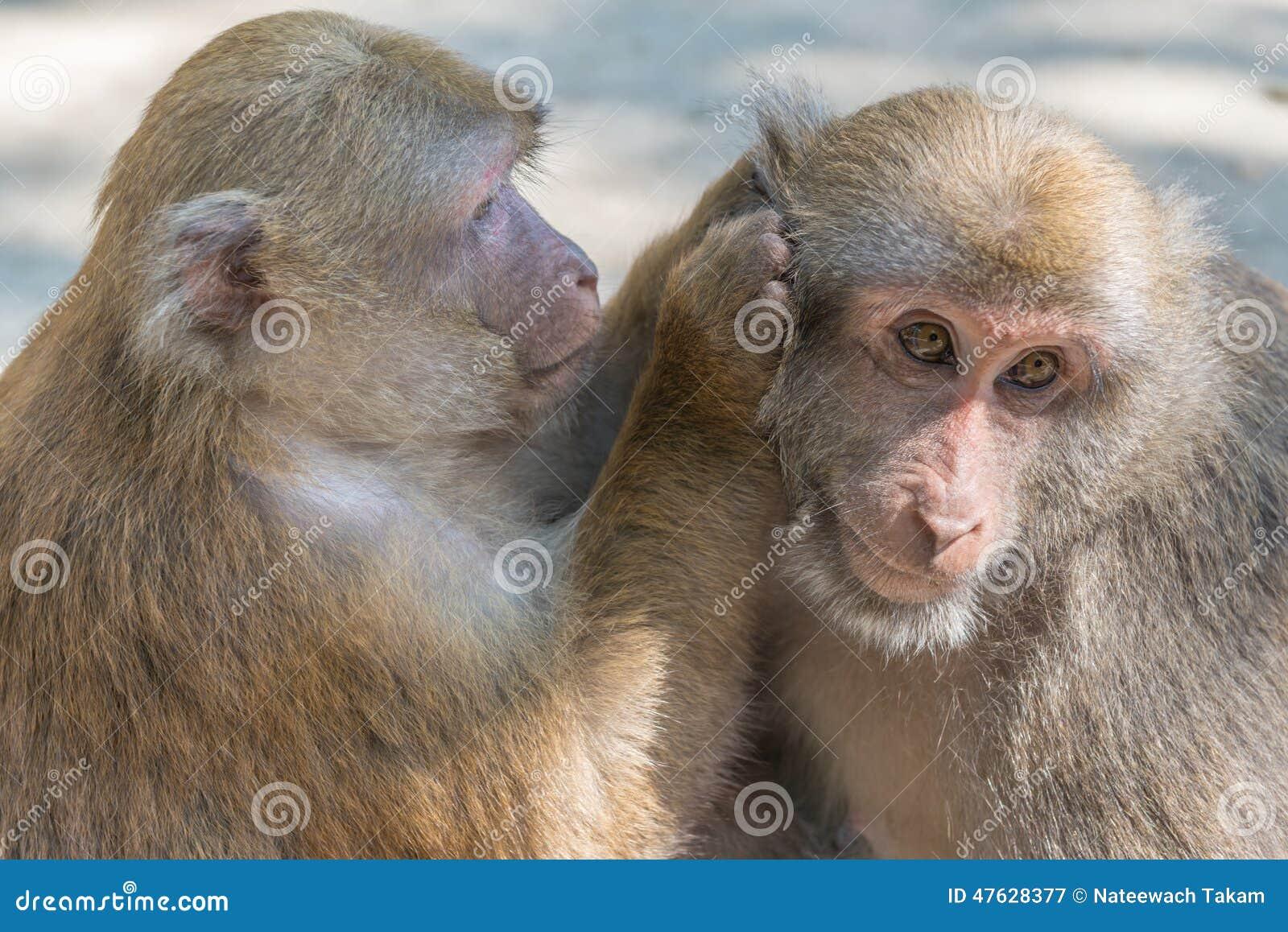 Monkeys of love