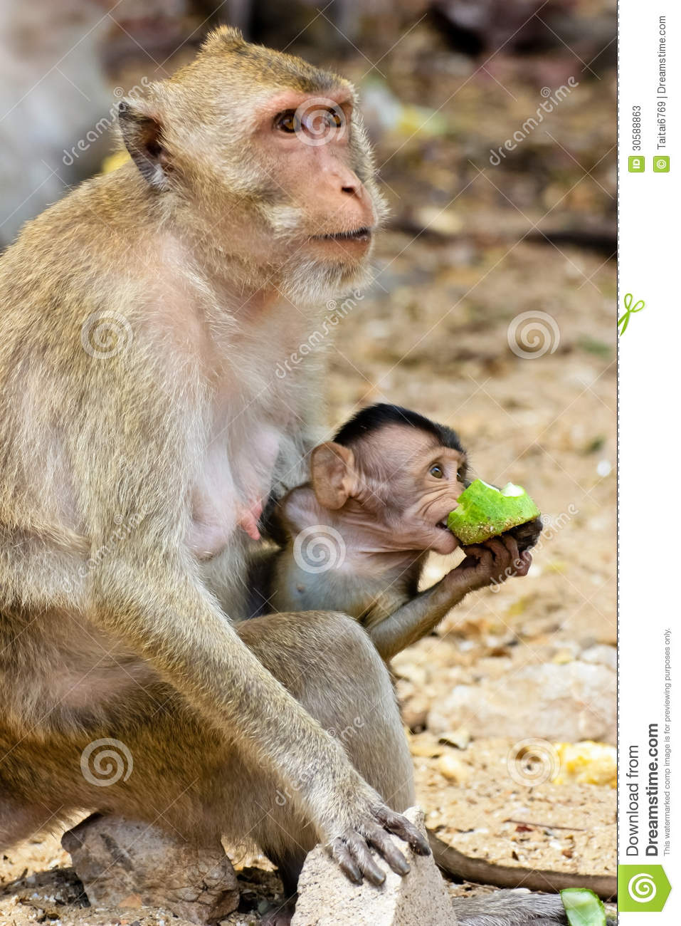monky mom with baby stock image. image of animal, hairy - 30588863