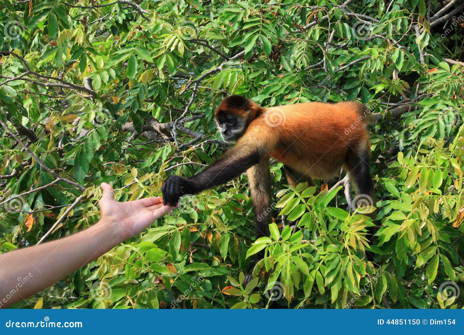 Mono de araña Negro-dado