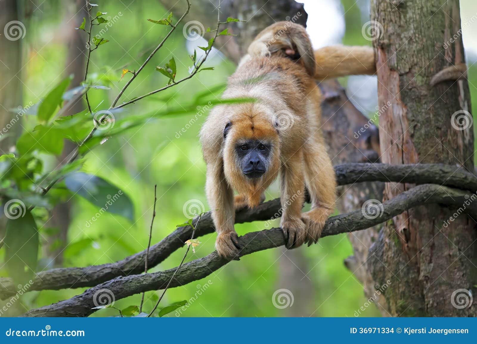 Mono de chillón cubierto