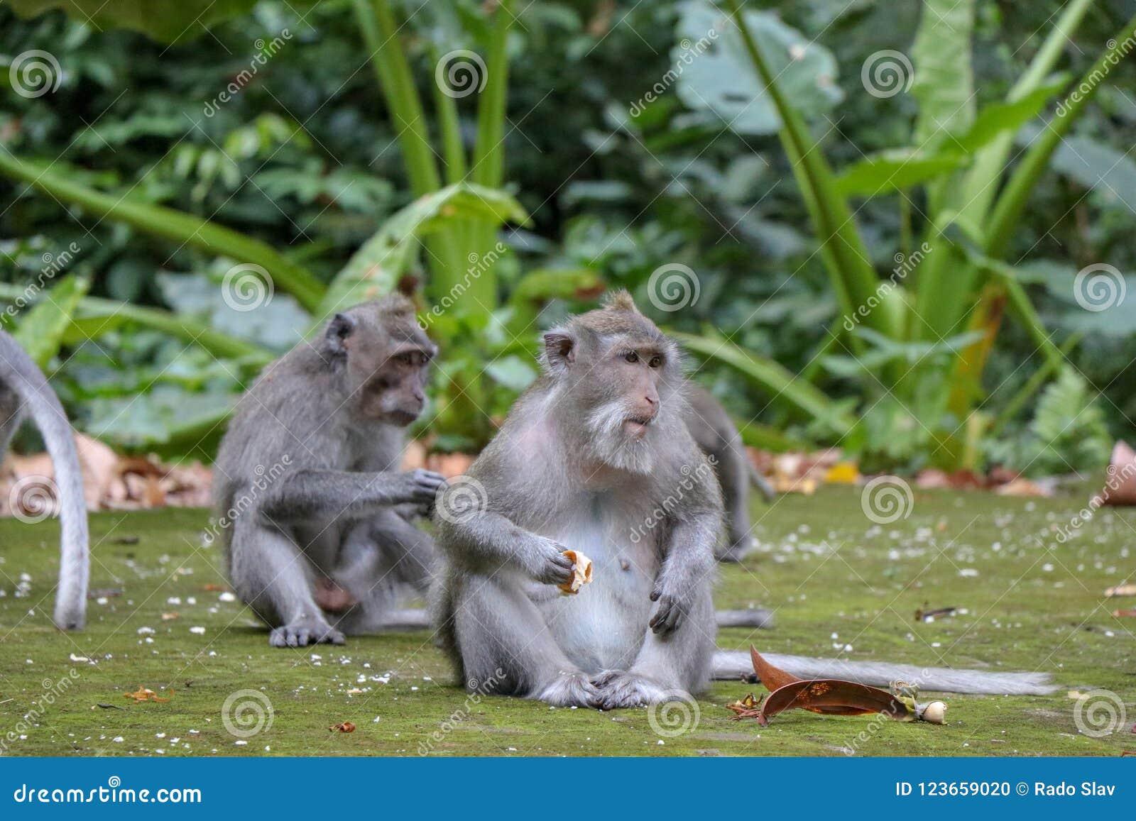 Mono de cola larga del Balinese en el bosque del templo del mono, Ubud