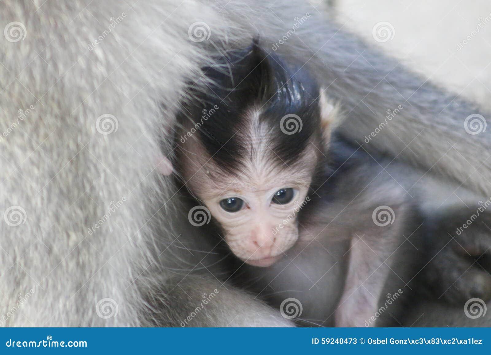 Download Mono De Cola Larga Del Bebé Del Balinese Y Su Mamá Imagen de archivo - Imagen de registro, mamífero: 59240473