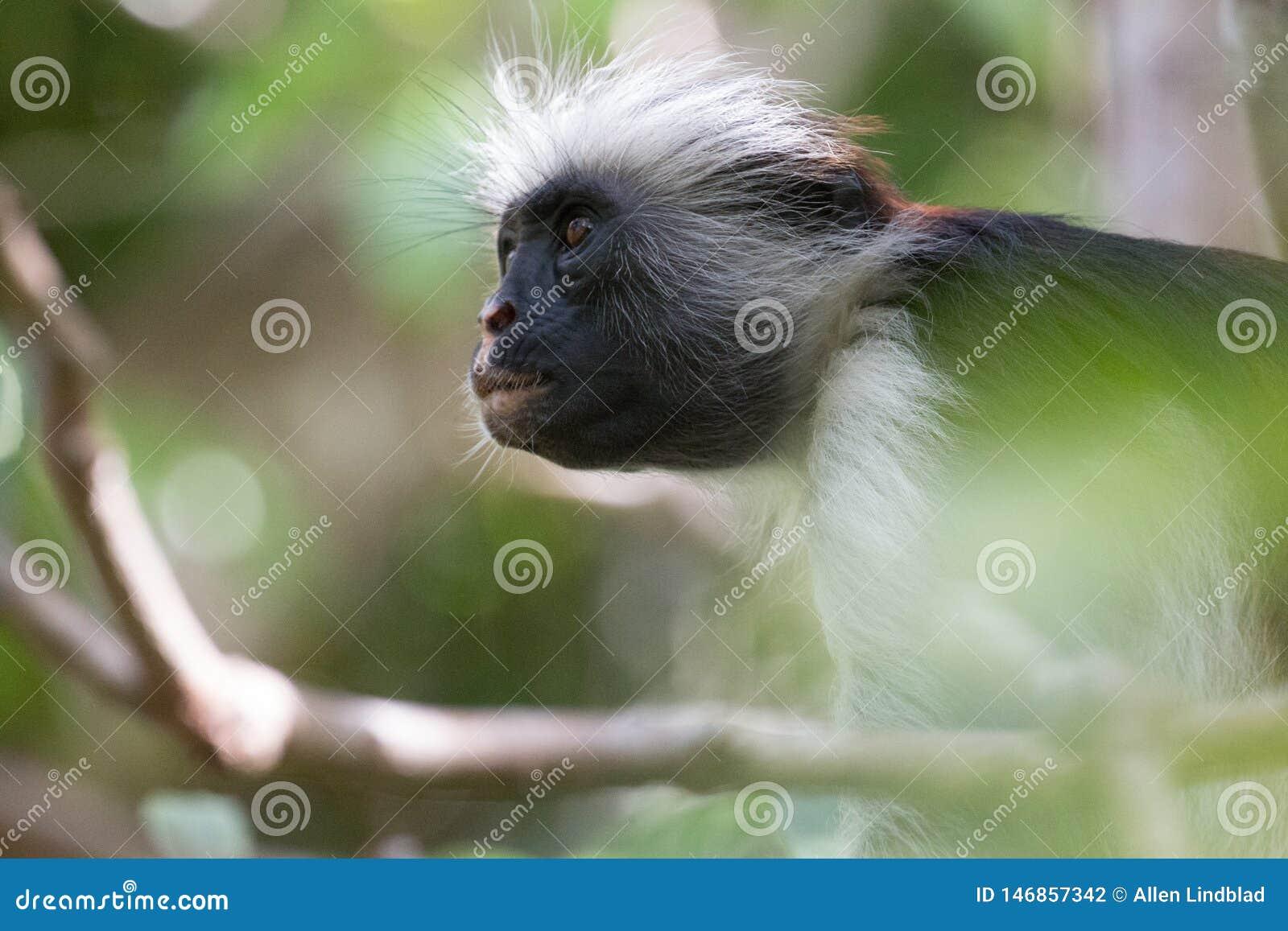 Mono de colobus rojo que mira para arriba en el bosque