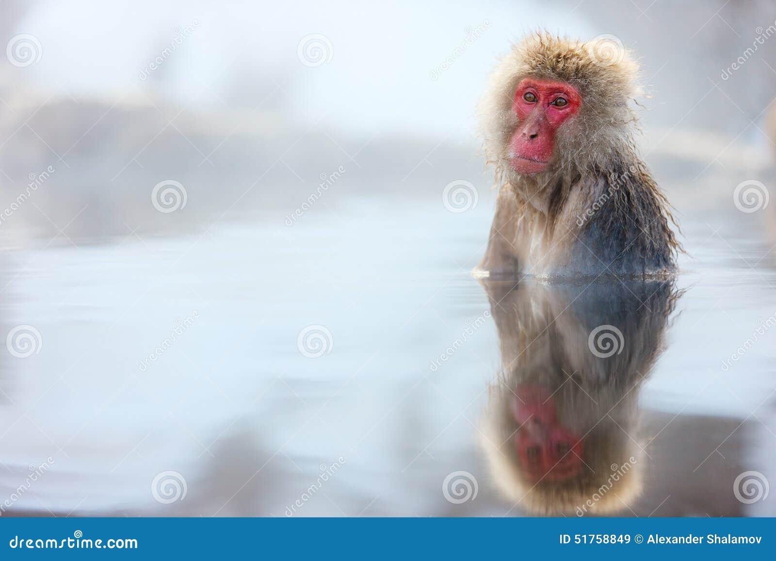 Mono de la nieve
