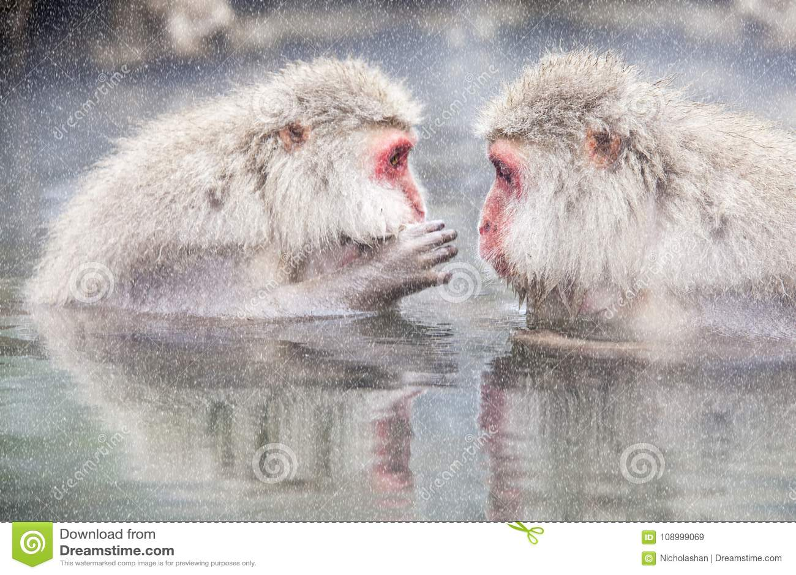 Mono de la nieve en el borde de la piscina Onsen de las aguas termales en Jigoku