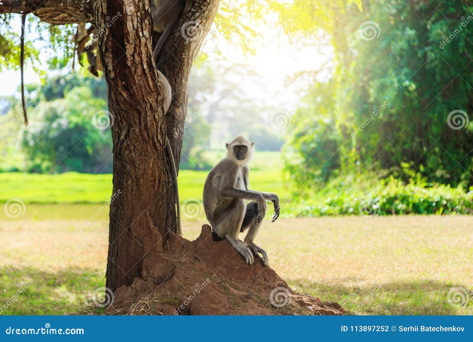 Mono gris en la selva que se sienta debajo de un árbol