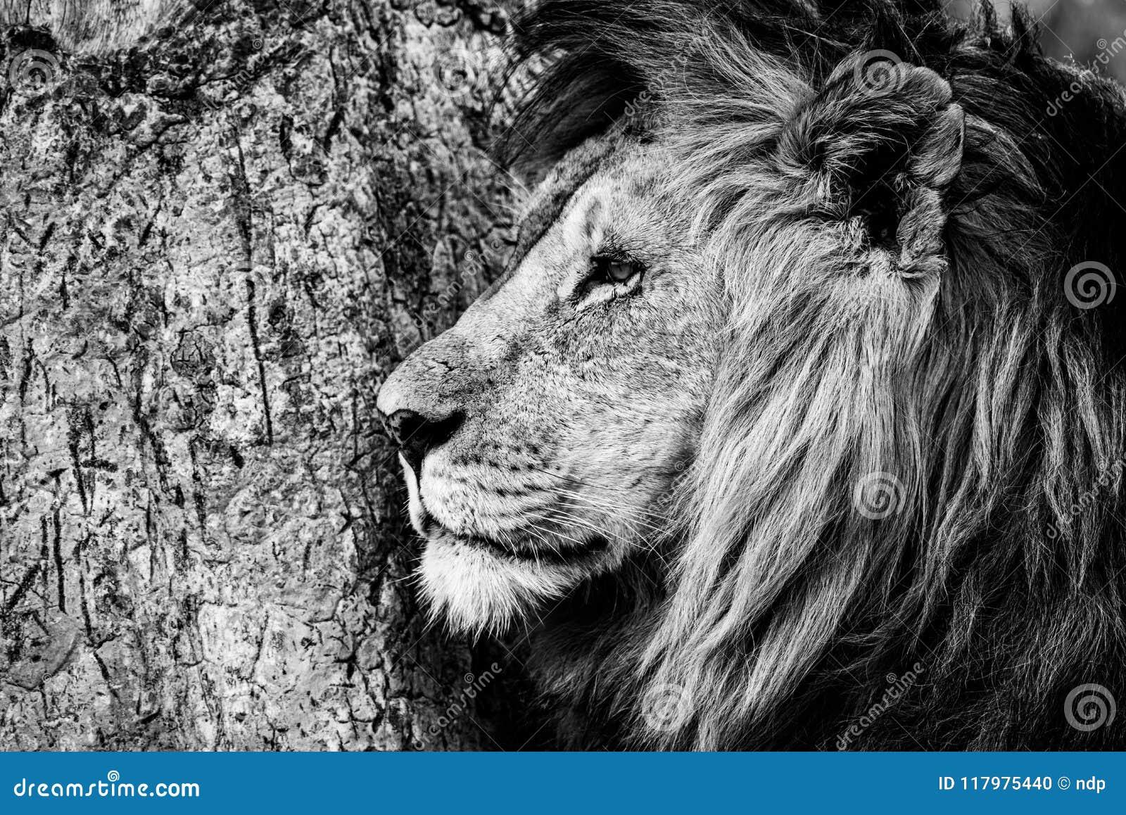 Mono närbild av det manliga lejonet vid trädet