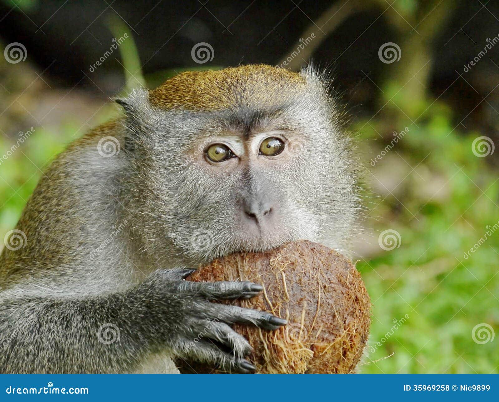 Mono que muerde un coco