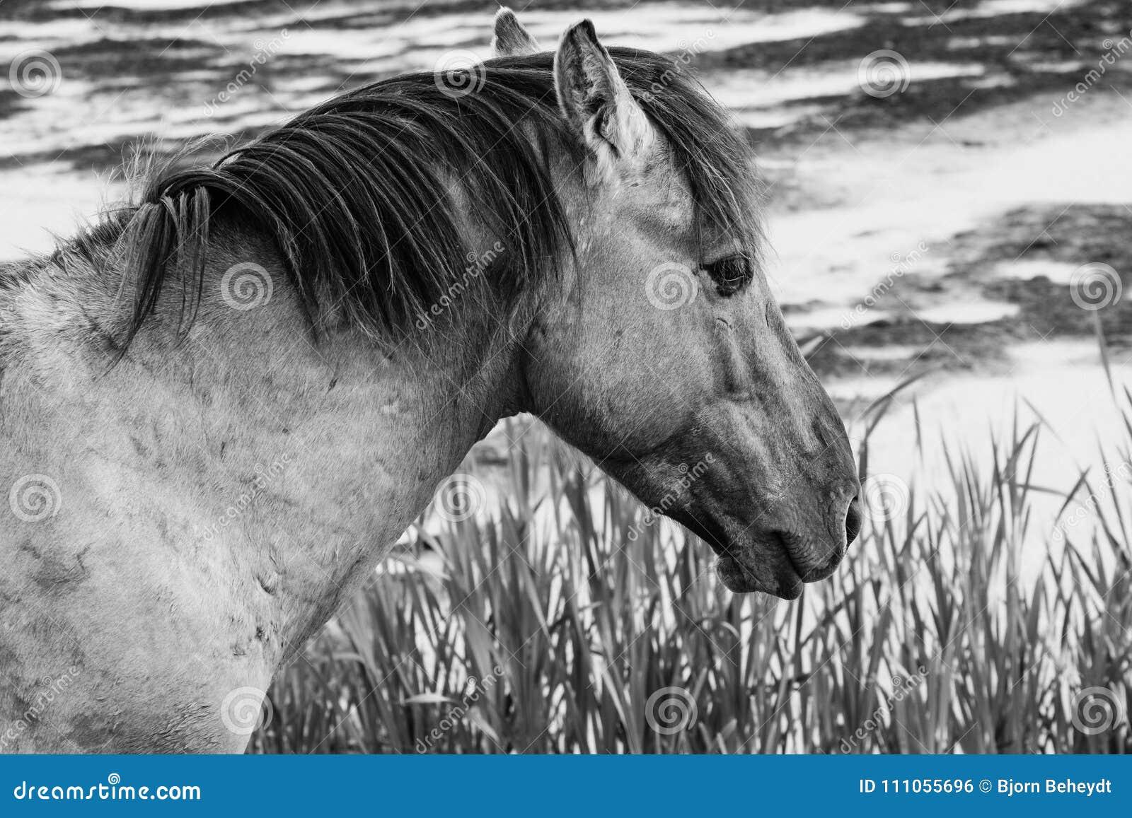 European Wild Horses In Black And White Stock Photo Image Of Black Animal 111055696