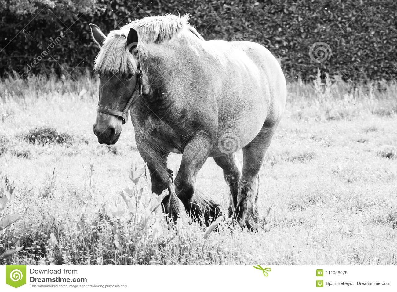 European Wild Horses In Black And White Stock Image Image Of Isolated Equestrian 111056079