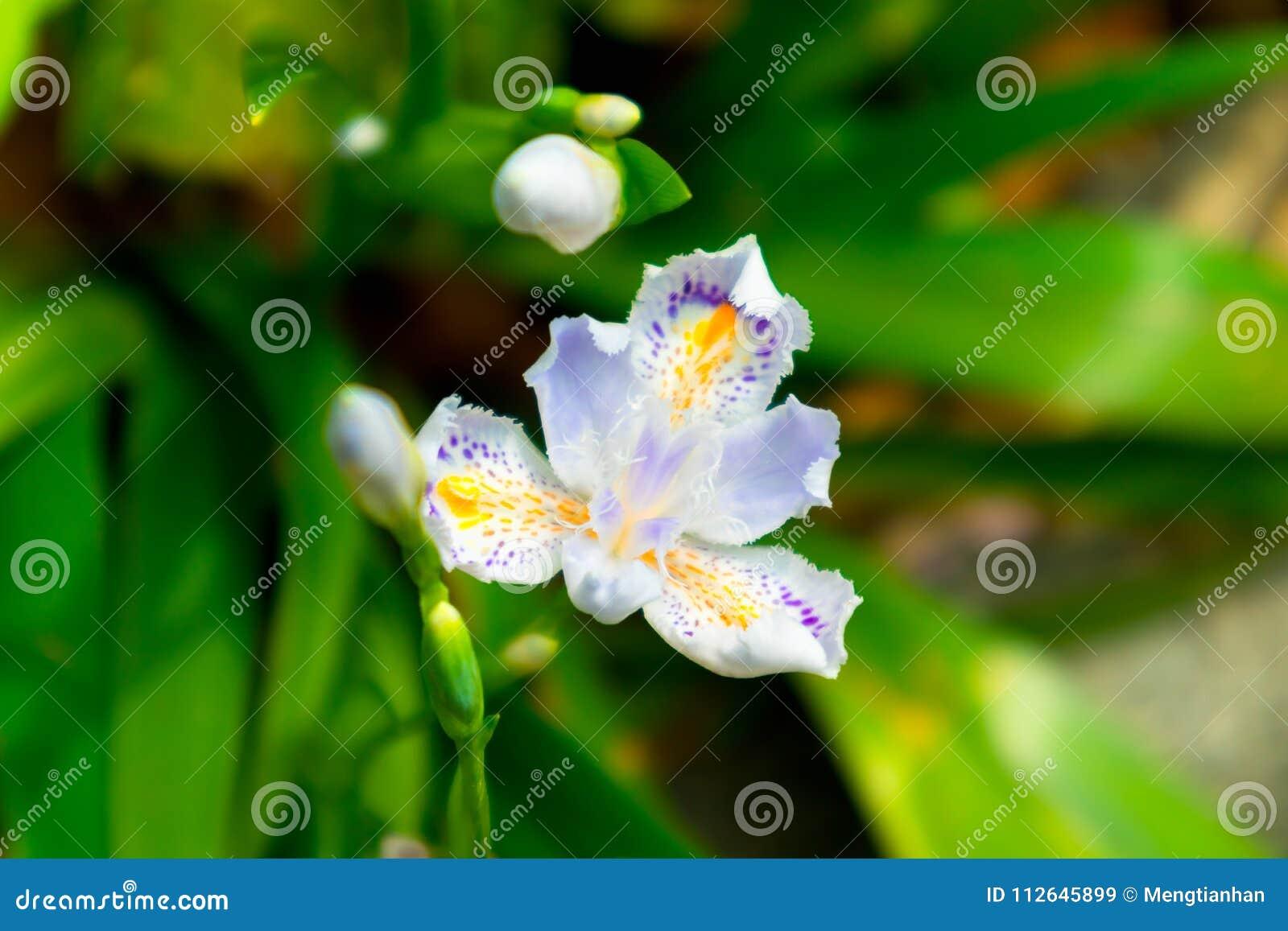 Iris Flower Perennial Herb Stock Image Image Of Deciduous 112645899