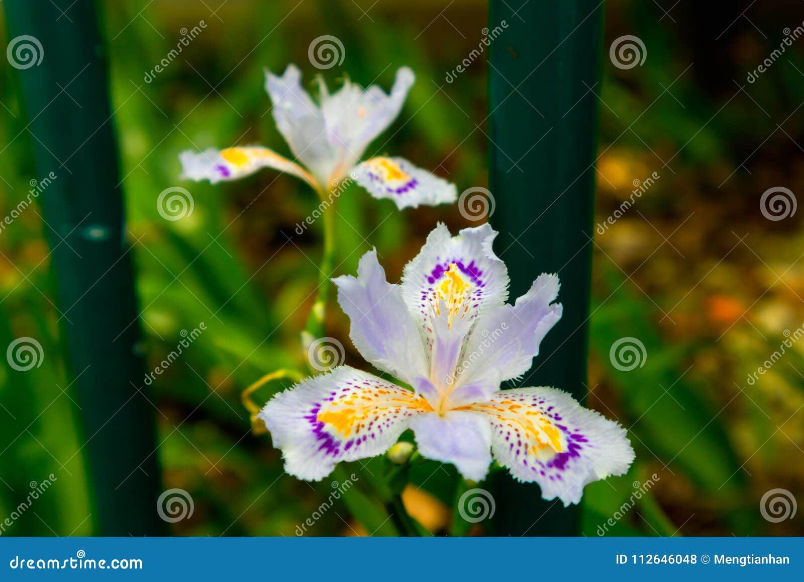 Iris Flower Perennial Herb Stock Photo Image Of Fleshy 112646048