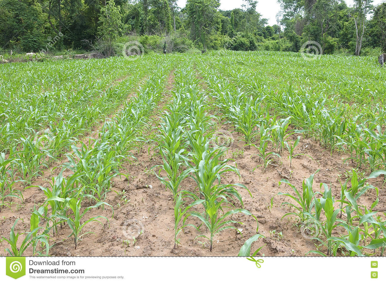 Monocroping With Field Of Young Maize Stock Photo - Image of field