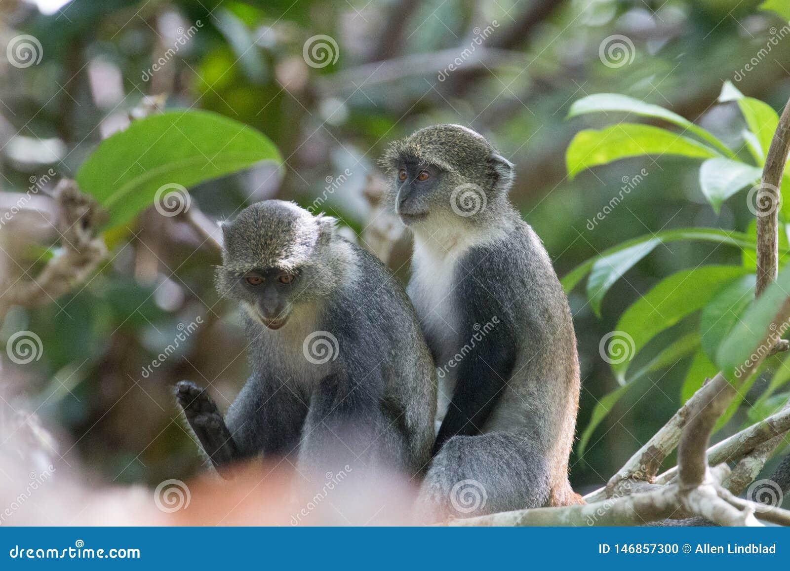 Monos de Sykes que se sientan juguetónamente junto