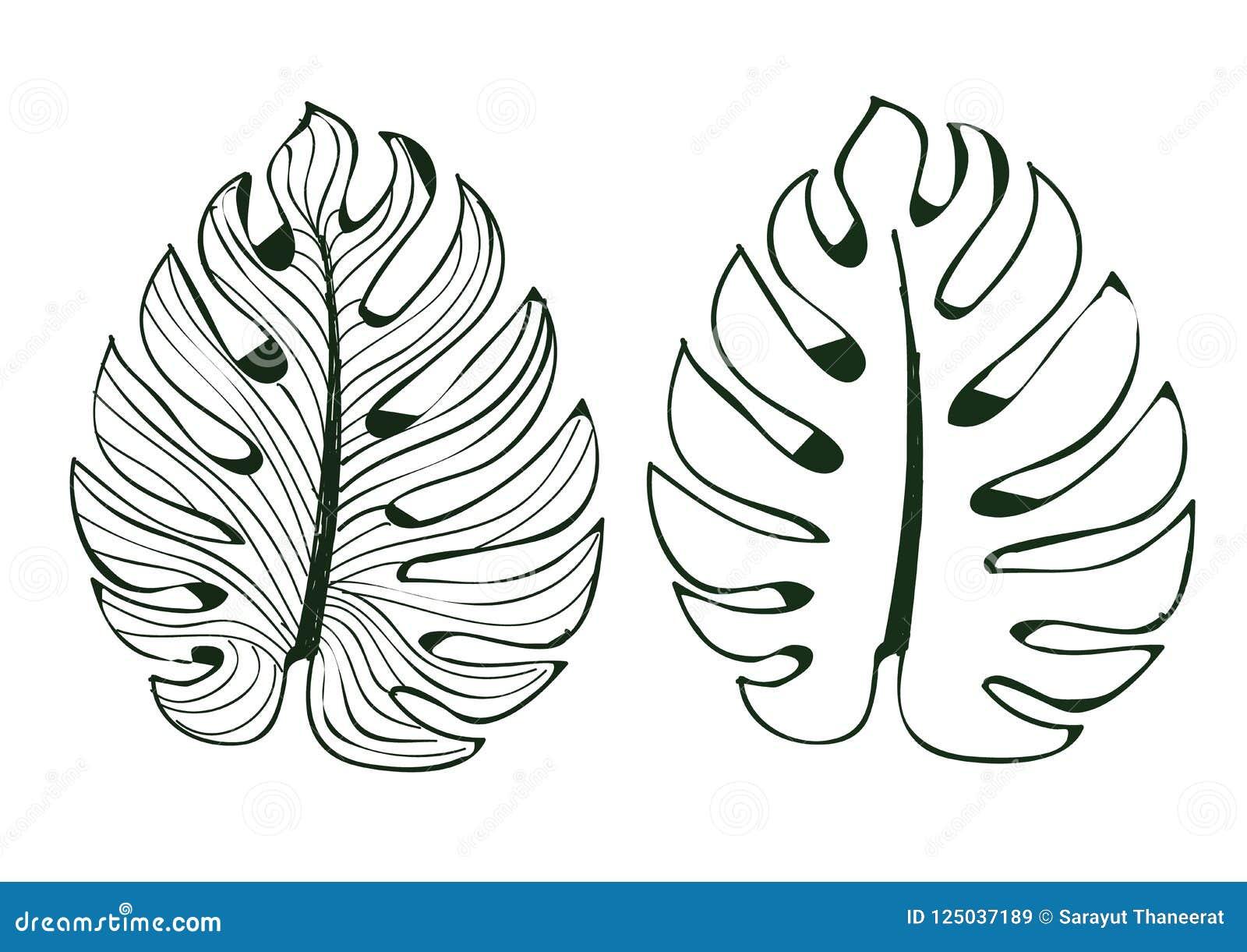 Monstera листьев использовано в дизайнах на белым иллюстраторе выровнянном изолятом картины предпосылки eps 10