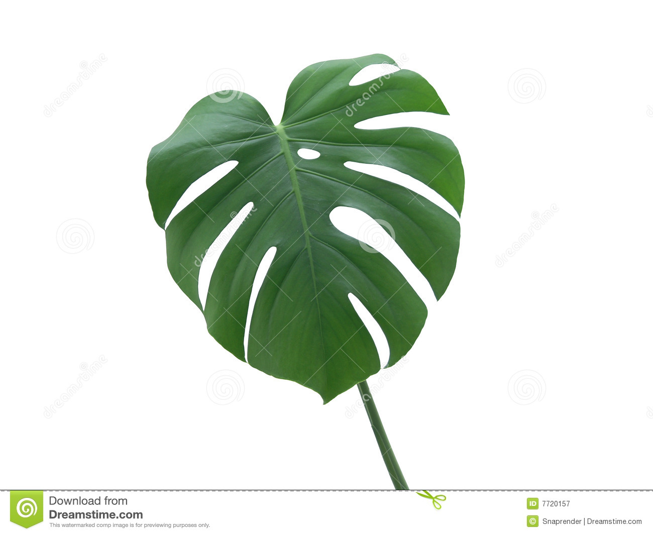 Monstera deliciosa leaf stock image image of monstera for Monstera deliciosa