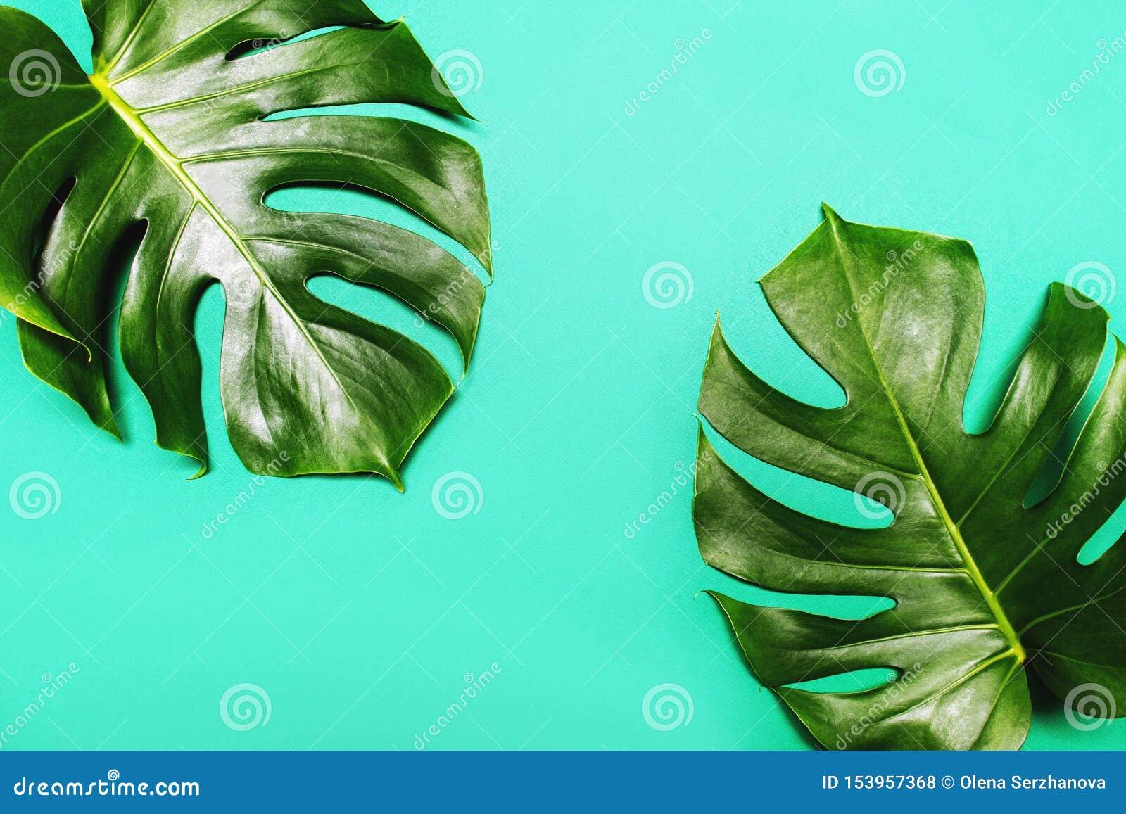 Monstera lämnar på grön sommarbakgrund