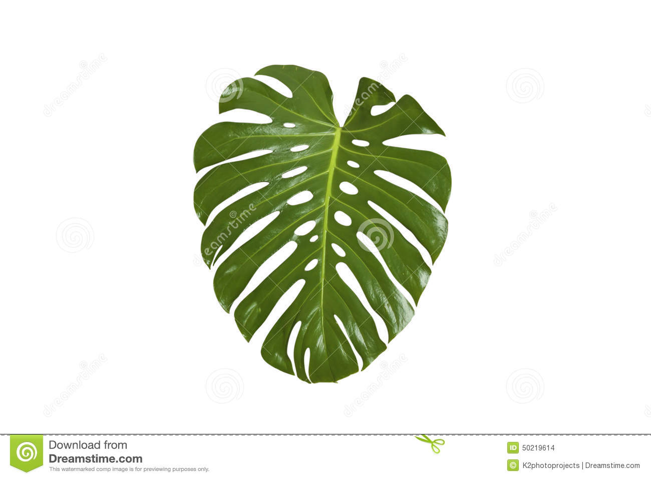 Monstera Leaf Stock Photo - Image: 50219614