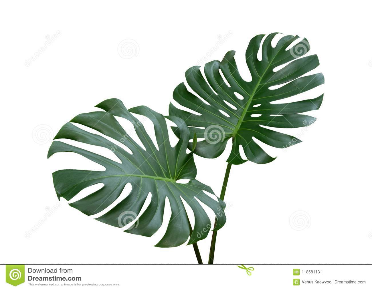 25 110 Monstera Plant Photos Free Royalty Free Stock Photos From Dreamstime